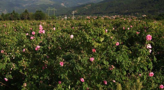 Check in cảnh đẹp như mơ ở thung lũng hoa hồng Sapa vào tết 2017