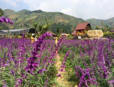 Chiêm ngưỡng cánh đồng hoa oải hương đẹp mê mẩn ở Lào Cai