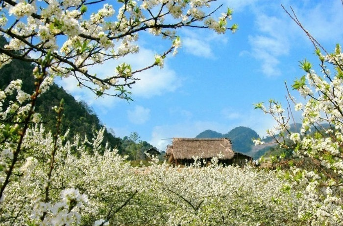 Du lịch Mộc Châu tháng 1 chiêm ngưỡng cảnh đẹp mùa xuân Mộc Châu -1