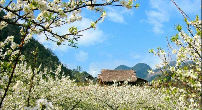 Tour du lịch Mộc Châu mùa hoa mận 2 ngày 1 đêm giá rẻ