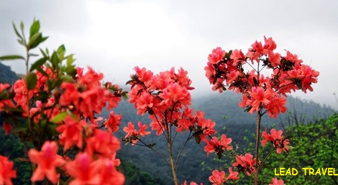 hoa đỗ quyên sapa